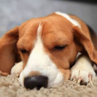 Apartment Rentals Miramar beagle